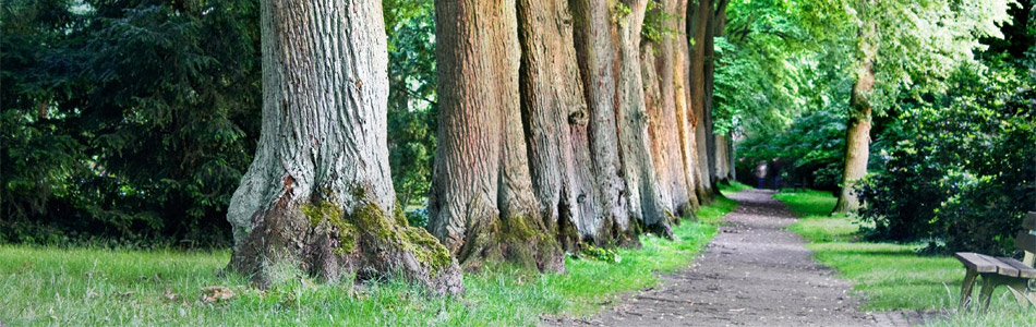 Path Among Tall Trees - Banner Image